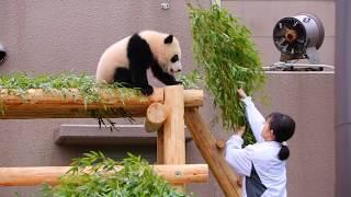 【ぱんだ】遊んで欲しいパンダの赤ちゃん VS 掃除をしたい飼育員さん Battle of Panda baby VS Zoo keepers【赤ちゃん彩浜】