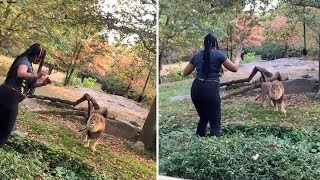video: Woman climbs into New York zoo exhibit and dances in front of lion