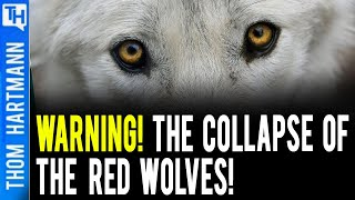 If Red Wolves Collapse - Will Humanity too? (w/ Jimmy Tobias)