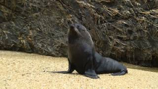 preview picture of video 'Queen Charlotte Sounds Seal'