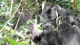 preview picture of video 'GORILLA TREKKING - BWINDI - UGANDA -  14 FEB 2011'