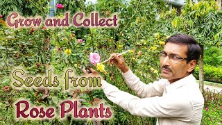 How to Grow and Collect Seeds from Rose Plants 🌹