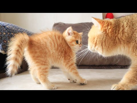 Adorable: Daddy Kitty Meets Kitten For the First Time!