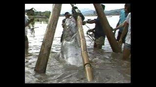 Catching The Last Giant Catfish In The World สารคดี ทีมงานส่องโลก ตอน ล่าปลาบึก