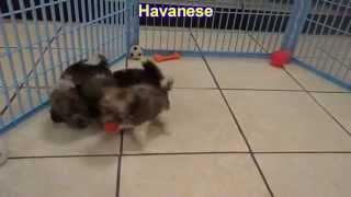 Havanese, Puppies, Dogs, For Sale, In Birmingham, Alabama, AL, 19Breeders, Huntsville, Dothan