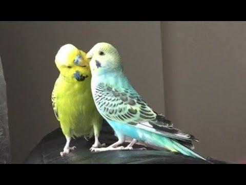 Muhabbet kuşu Fıstık ve Boncuk - Babacık aşkım cici kuş öpücük