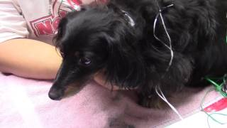 Clara the Dachshund's Paralysis Treated With Certified Acupuncture