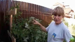 Подвязка малины своими руками видео