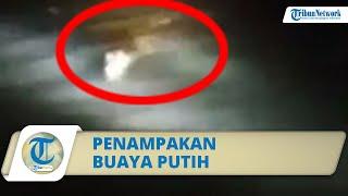 Viral Video Penampakan Buaya Putih di Kediri, Berenang Menuju Jembatan Brawijaya