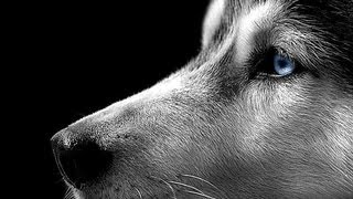 Dogs 101   Siberian Husky