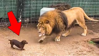 They Let The Dog Inside A Lion Cage, Here's What Happened…