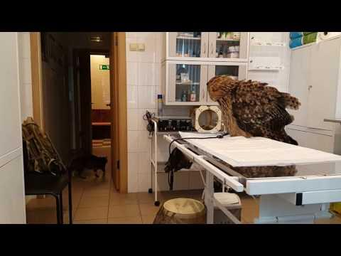 Филин Ёль на приёме у ветеринара. Ёлка и кошка Буся.
