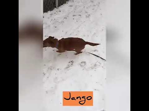 Jango, an adopted Terrier Mix in Danbury, CT