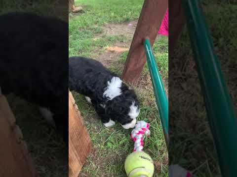 Violet is a sweet little bernedoodle puppy