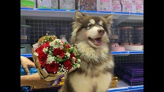 Dogily Petshop: Nhập khẩu, nhân giống và mua bán chó cảnh cao cấp