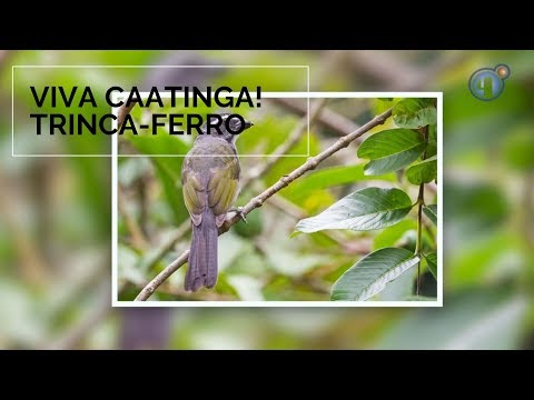 Viva Caatinga! Trinca-ferro