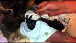 Still born dead puppy dachshund brought back to life