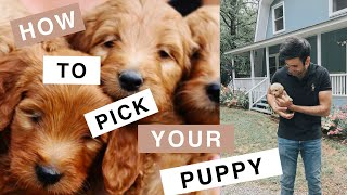 Theo the Mini Goldendoodle (F1B)- How to Choose your Puppy