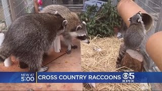 Family Of Raccoons Settles Into New Home At Oakland Zoo After Traveling Across County