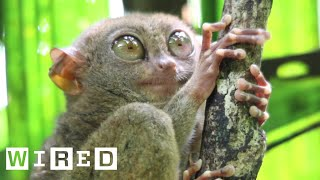 Tarsiers Can't Blink | WIRED