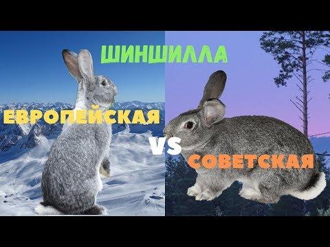 Отличие Советской Шиншиллы от Европейской Großchinchilla (Большая Шиншилла)