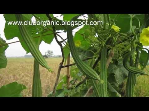 Video Gambas Super di Bojonegoro