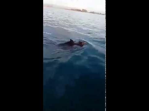 Ψάρευαν στο Ιόνιο και συναντήθηκαν μεσοπέλαγα με αγριογούρουνα! (video – εικόνα)