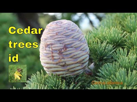 Tree ID: Cedars - Cedrus - includes Cedar of Lebanon, Deodar cedar, atlantic or Atlas Cedar,