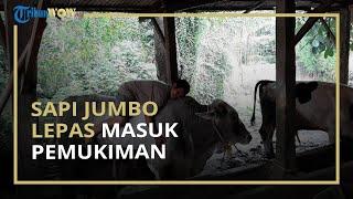 Viral Video Sapi Berukuran Jumbo Lepas di Perkampungan, Warga Kocar-Kacir