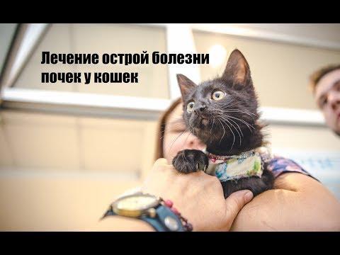 Лечение острой болезни почек у кошек