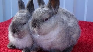 Калифорнийские крольчата с серым налётом –  брак или стандарт?