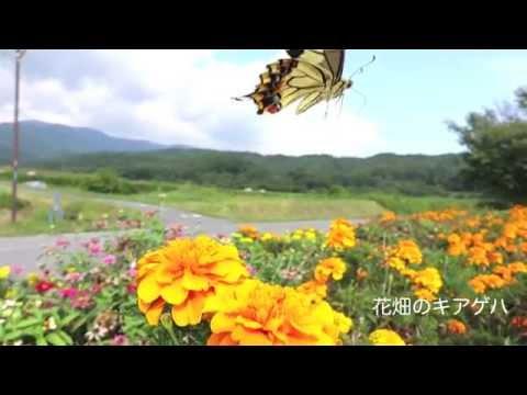花畑のキアゲハ