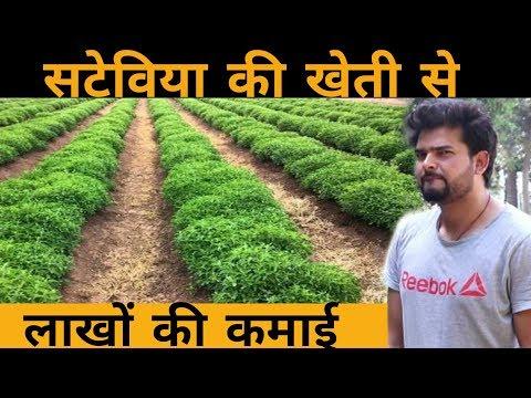 Stevia ki kheti kaise kare | stevia farming | होगी 8 से 10 लाख रूपए तक कमाई