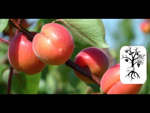 Wieviel kann man kg auf der Apfeldiät für die Woche stürzen