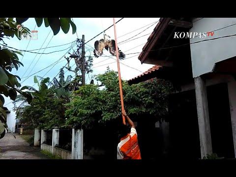 Seekor Elang Brontok Ditemukan Tersangkut Kabel Listrik di Cianjur