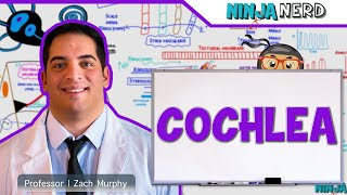 Special Senses | Cochlea | Spiral Organ of Corti