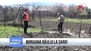 BURUIANA RAULUI LA SARD!