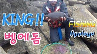 KING Opaleye rock fishing 91