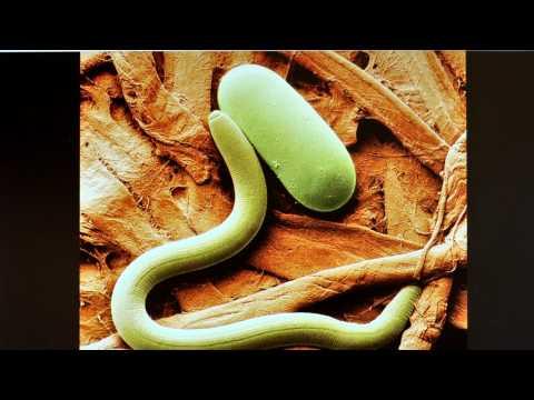 Wie von den Parasiten im Darmkanal geheilt zu werden