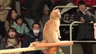 Смотреть онлайн Выступление дрессированного кота в японском цирке