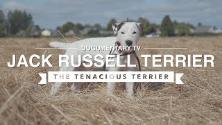 ALL ABOUT JACK RUSSELL TERRIER: THE TENACIOUS TERRIER