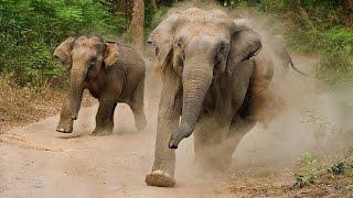 Elephant Attack. Слоны атакуют беззащитных туристов.