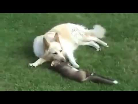 Fox Vs Dog. Fox Playing With The Dog. Video Compilation Of Amazing Moments