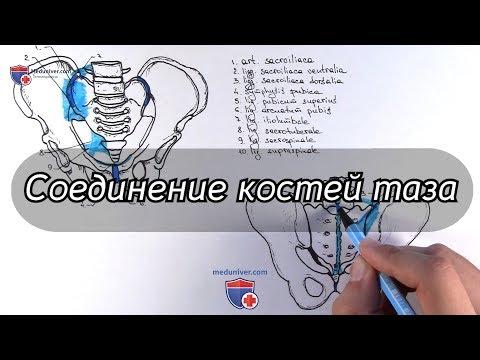 Анатомия соединений костей таза - meduniver.com