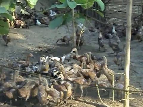 Video Cara Beternak Bebek Petelur Jawa Untung Dan Berkah