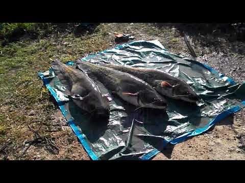Pesca en mequinenza  la pesca del siluro