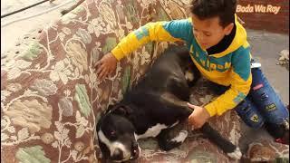 كلب بيتبول لعبنا معه بلكرة المضرب و أجمل لحظات قضيناها معه تحميل MP3