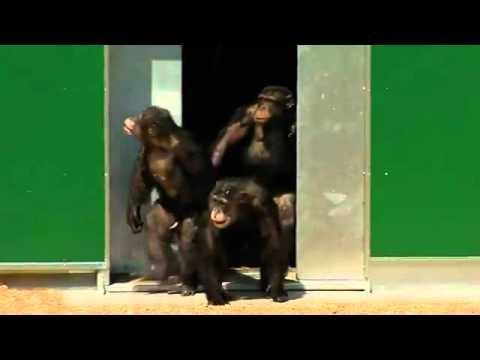 שימפנזות משוחררות לחופשי לאחר 30 שנה