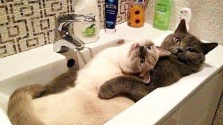 Смешные КОТЫ Лучшие приколы / Funny cats compilation Подборка #35