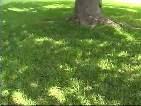 Tips For Growing Grass In Shady Areas Mp3